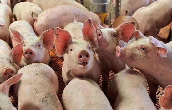 Украина резко увеличила экспорт свинины
