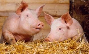Цены на свинину вернулись к снижению после резкого скачка