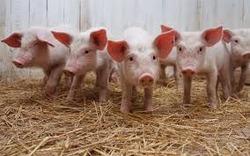 KSG Agro за 9 мес.-2017 увеличил продажи свиней на 20%