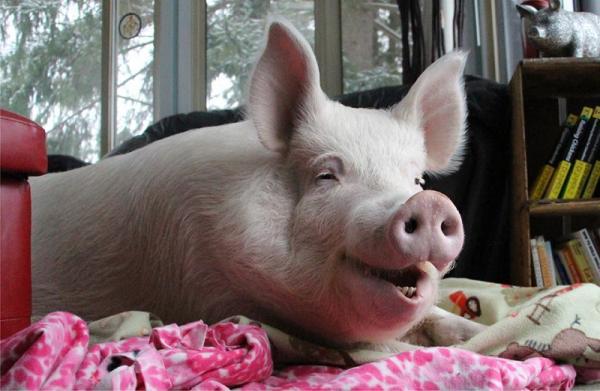 Закупочные цены на свинину продолжат снижаться